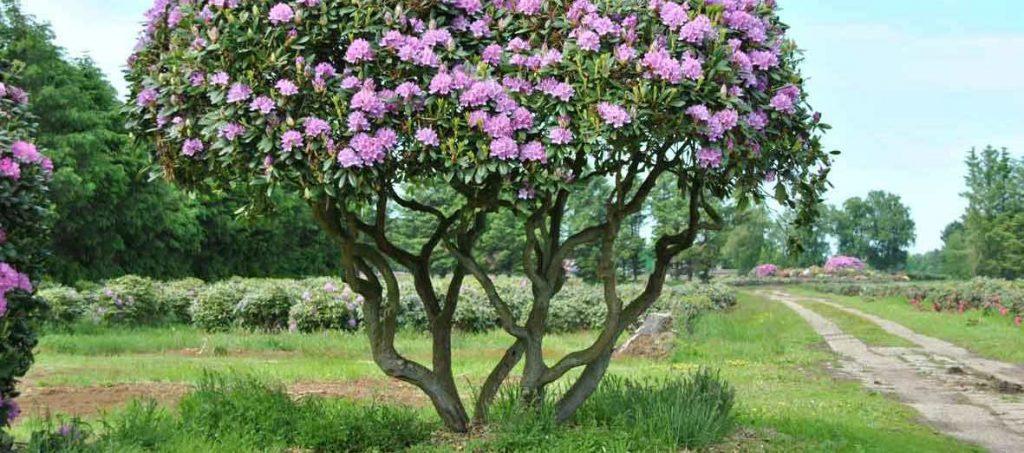rhododendron en fleurs On devient ce qu'on fait http://l-ecole-a-la-maison.com